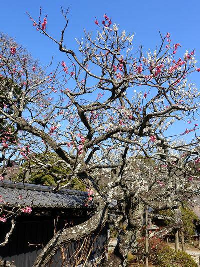 梅 鎌倉 東慶寺