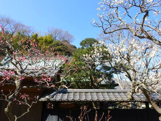 梅 東慶寺 鎌倉