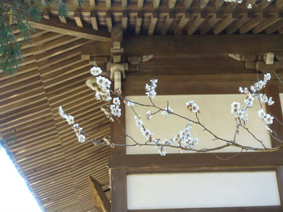 梅 浄智寺