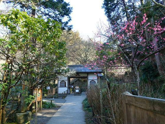 鎌倉 明月院 梅