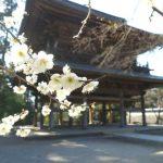 鎌倉・円覚寺の梅 <見頃の時期は?>