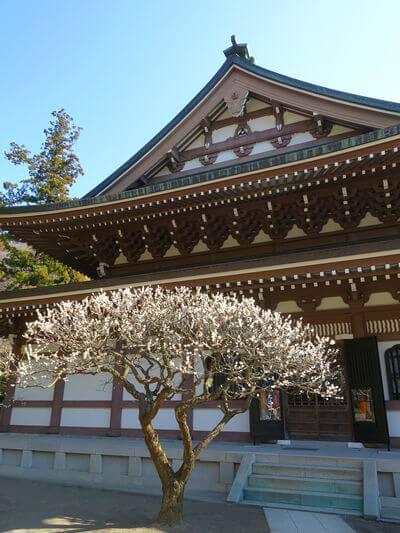 円覚寺 仏殿 梅