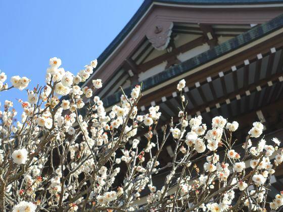 鎌倉 円覚寺 白梅