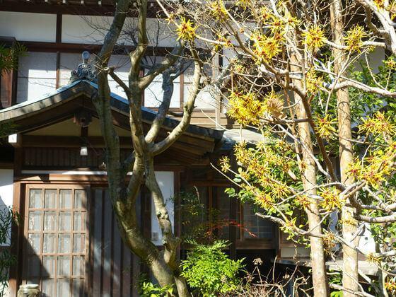 円覚寺 鎌倉 マンサク