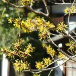 鎌倉・円覚寺の金縷梅(マンサク)