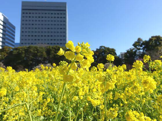 菜の花 東京
