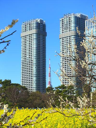 東京タワー 菜の花
