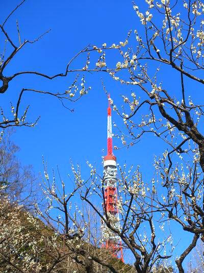 東京タワー 梅