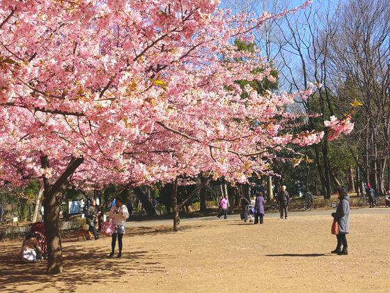 林試の森公園 河津桜 開花状況
