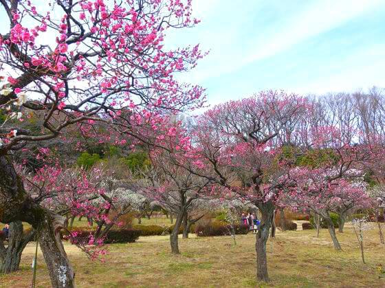 薬師池公園 紅梅