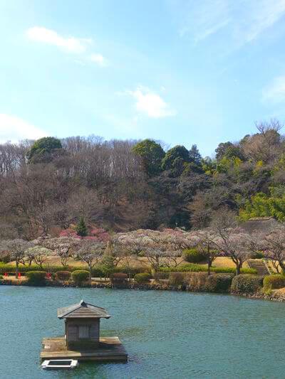 町田市 薬師池公園 梅
