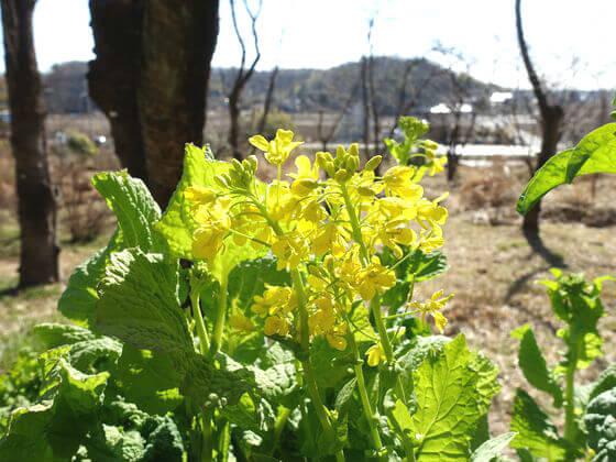 国営武蔵丘陵森林公園 菜の花