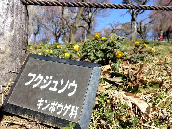 国営武蔵丘陵森林公園 福寿草