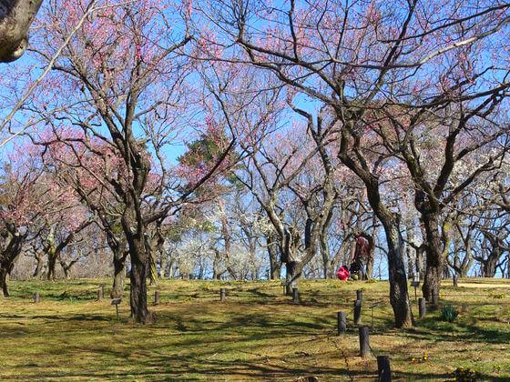 梅 国営武蔵丘陵森林公園