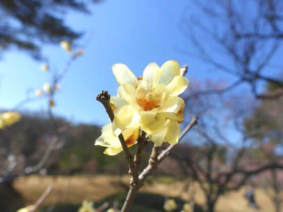 国営武蔵丘陵森林公園 蝋梅