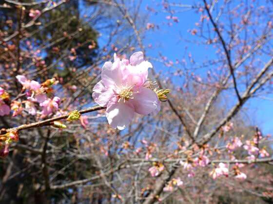 森林公園 寒桜