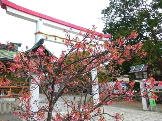 河津桜 鎌倉宮