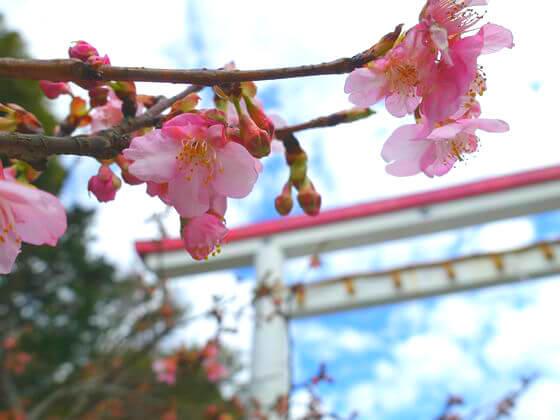鎌倉宮 河津桜