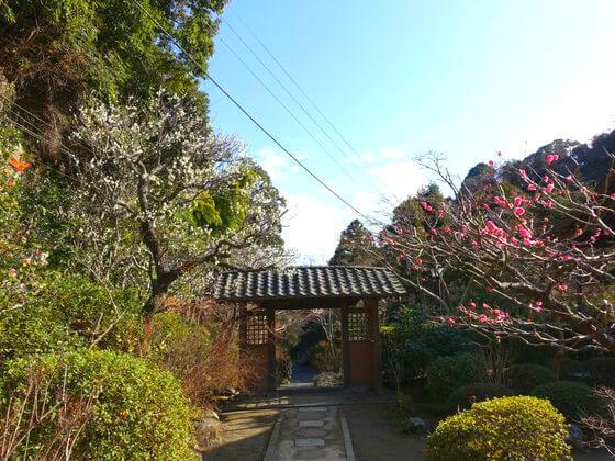 海蔵寺 鎌倉 梅