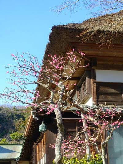 海蔵寺 紅梅