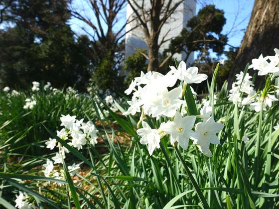 新宿御苑 ペーパーホワイト