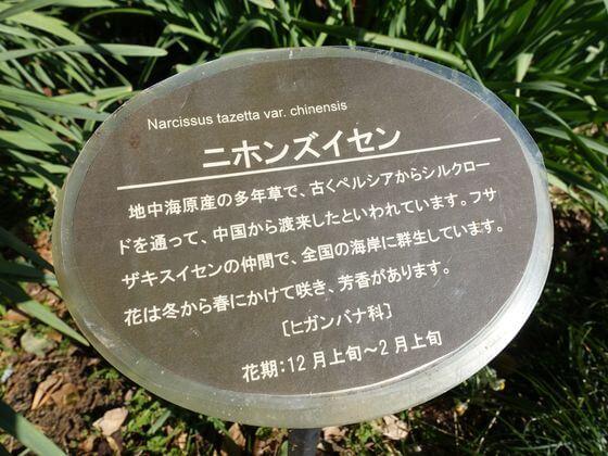スイセン 新宿御苑