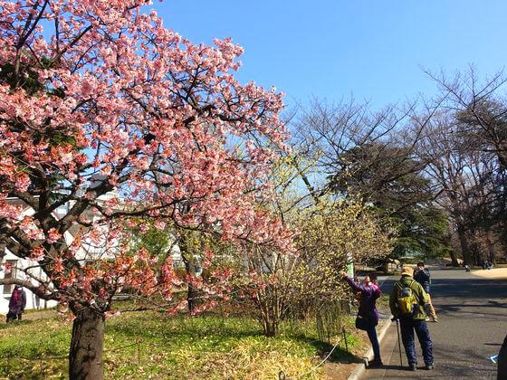 寒桜 新宿御苑