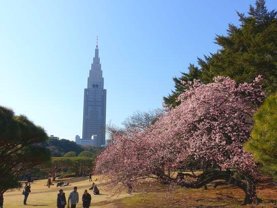 新宿御苑 寒桜