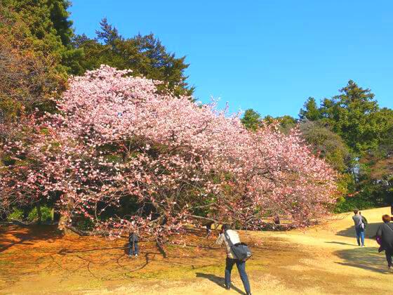 新宿御苑 日本庭園 桜