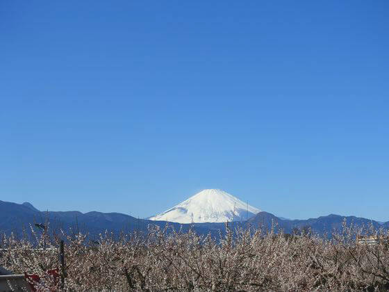 曽我の梅林 富士山