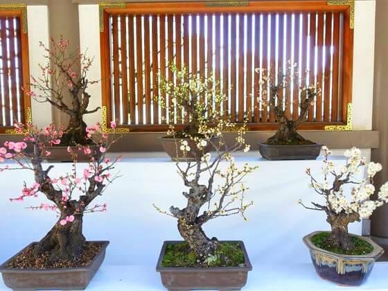 湯島天神 梅まつり 梅の盆栽