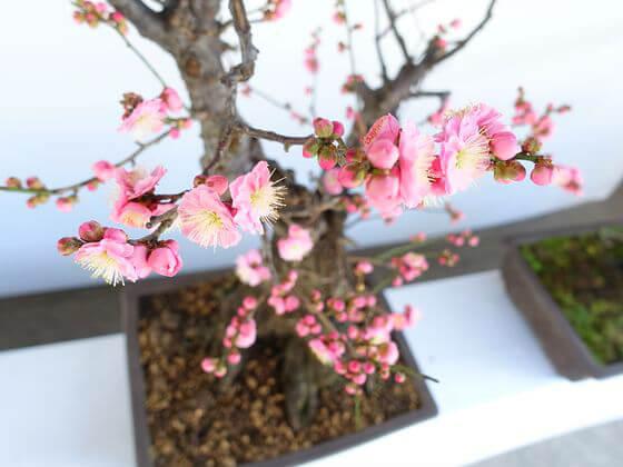 湯島天神 梅の盆栽 紅梅