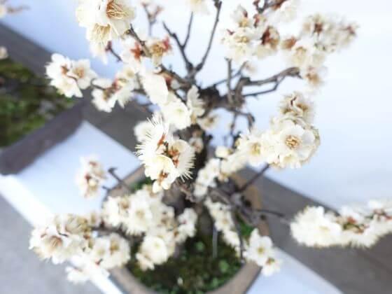 湯島天神 梅の盆栽 白梅