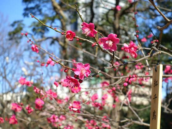 小石川後楽園 梅 開花状況