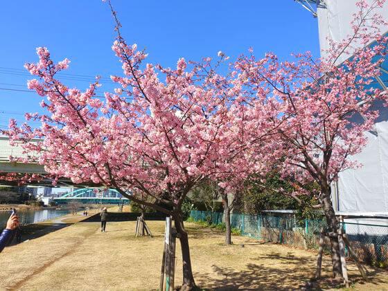江戸川区 河津桜