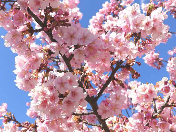 亀戸中央公園 河津桜
