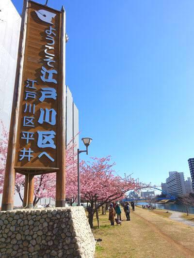 旧中川 河津桜 アクセス