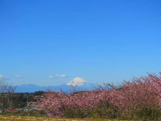 富士山 河津桜