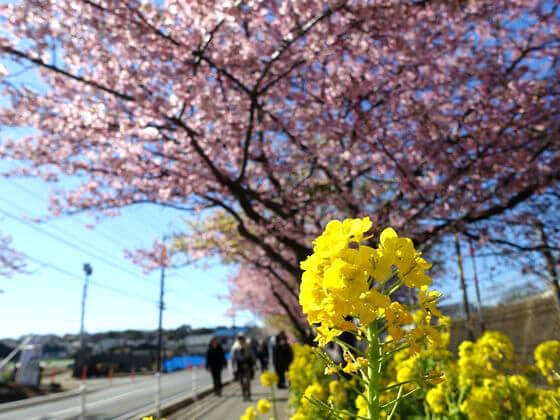 三浦海岸 菜の花