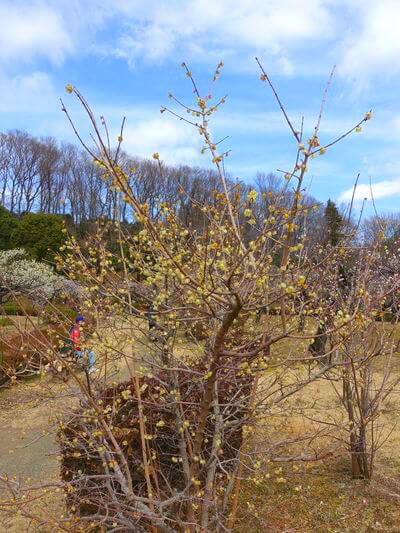 町田 薬師池公園 ロウバイ