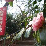 町田市・薬師池公園の椿(ツバキ)