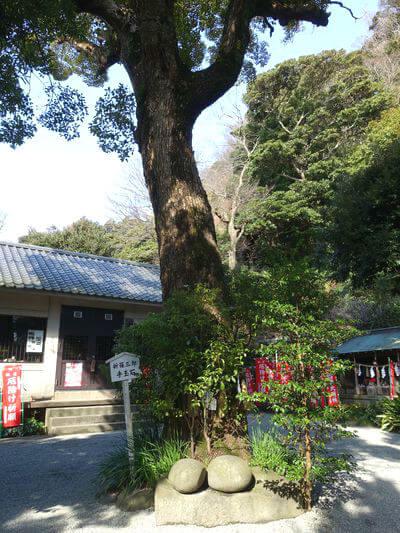八雲神社 鎌倉 御神木