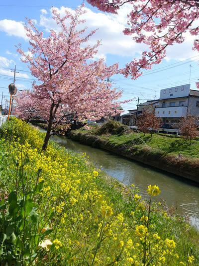 久喜 河津桜