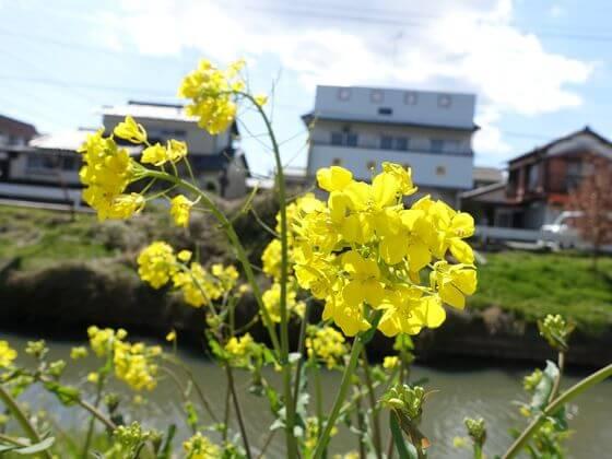鷲宮 菜の花