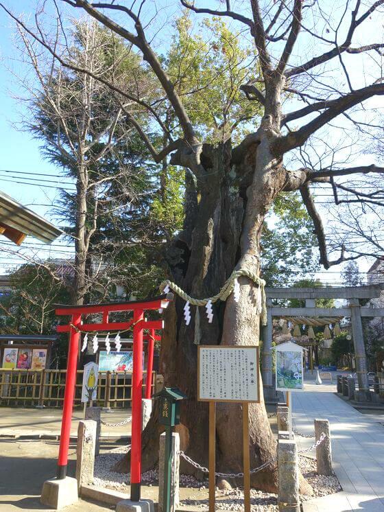 新田神社 御神木