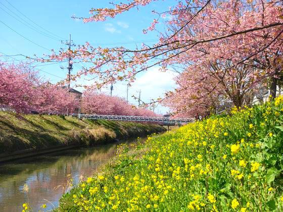 鷲宮 河津桜