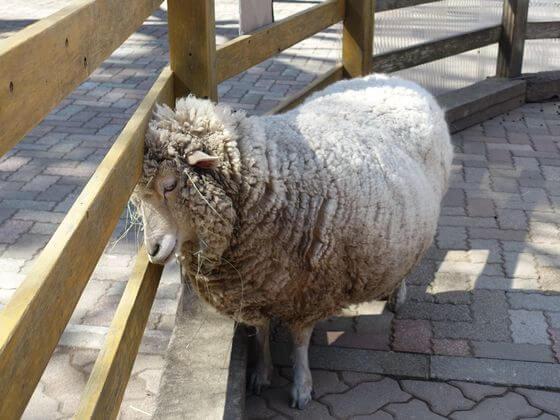宝登山小動物公園 羊
