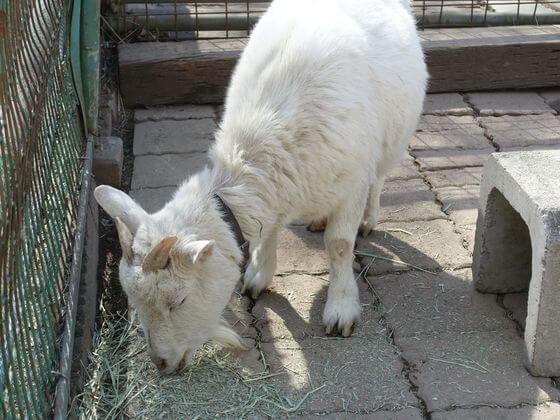 宝登山小動物公園 アラレ