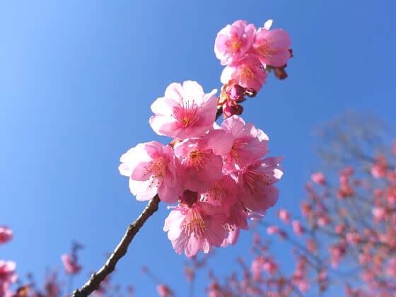 荏原神社 桜 見頃