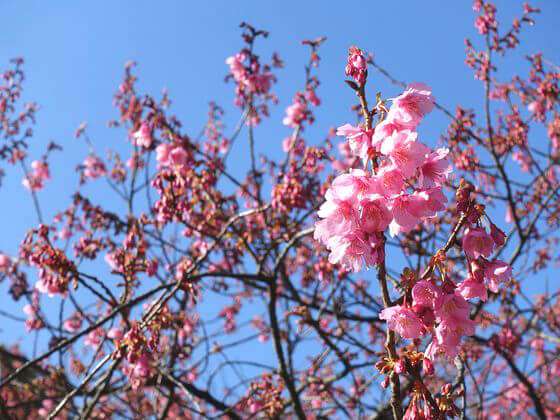 桜 荏原神社
